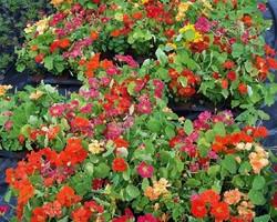 EARL Deroux Plants - Romans-sur-Isère - Fleurs